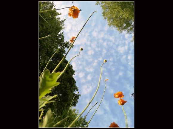 Poppy Sky