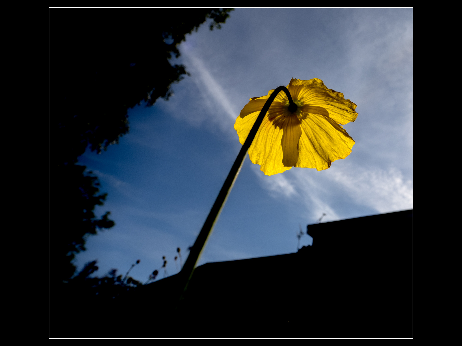 Welsh poppy reaches to the sky
