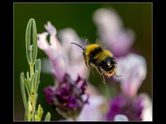TMIT Garden Bumblebee